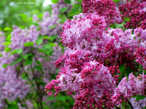 lilac-may-flowers