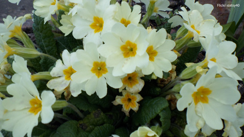 primrose-may-flowers