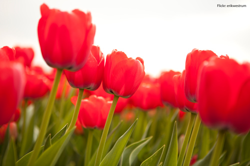 tulips-may-flowers